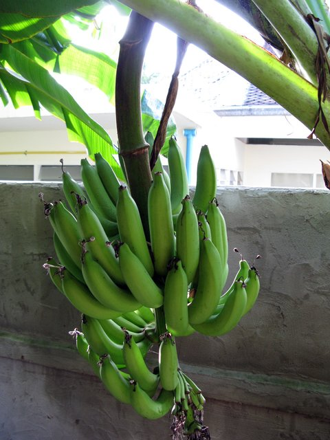 Рождение бананов